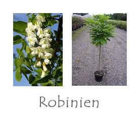 Robinien