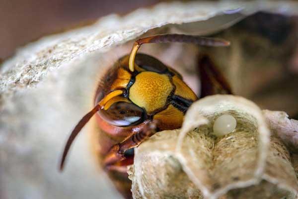 Hornisse sind Wespen