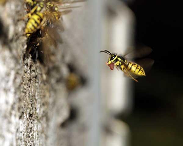 Wespe mit Beute
